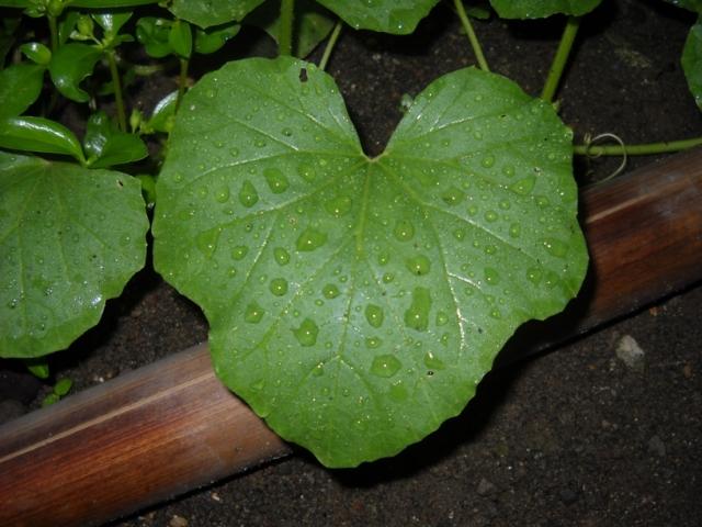 Titik Embun di Daun Melon